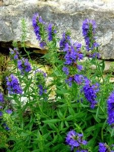 blue hyssop..ornamental herb, history of medicinal use