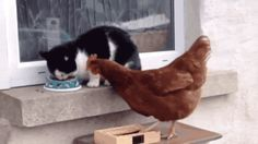 Chat et poule qui se dispute une gamelle