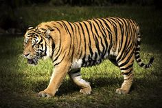 Check out this new photograph that I uploaded to fineartamerica.com! http://fineartamerica.com/featured/bengal-tiger-penny-lisowski.html