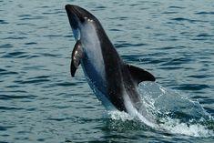 61-Chilean-dolphins-Cephalorhynchus-eutropia