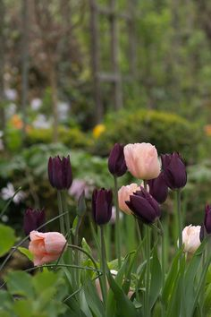 perenn rabatt Tulip Apricot Beauty and Havran. Tulips Garden, Moss Garden, Garden Plants, Planting Flowers, Garden Art, Flowers Nature, Beautiful Flowers, Plants Are Friends, Garden Cottage