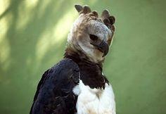 harpias-ave-brasileira-lindas-fotos.jpg