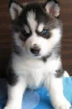 One day I hope to have a Pomsky= 2 cute! Maybe sooner than later!!!:)