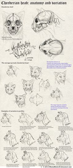 Cheederian head anatomy by BlackMysticA. on Cheederian head anatomy by BlackMysti Head Anatomy, Anatomy Study, Anatomy Drawing, Cat Drawing, Cat Reference, Anatomy Reference, Animal Sketches, Animal Drawings, Male Figure Drawing