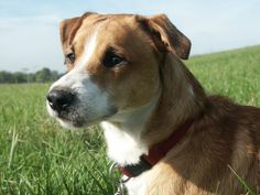 Peppo Mischling (Beagle & Kooiker) | Pawshake
