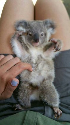 I need a Koala, a Sloth, and a teeny piglet. Cute Baby Animals, Animals And Pets, Funny Animals, Wild Animals, Baby Koala, Baby Otters, Australian Animals, Tier Fotos, Cute Animal Pictures
