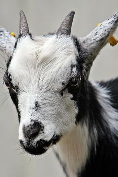 Download this free photo from Pexels at https://www.pexels.com/photo/white-and-black-hair-goat-115017/ #animal #close-up #animalPhotography