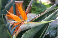 Fleur oiseau du paradis bec de perroquet jpeg J'appelle cette fleur exotique ''bec de perroquet'' . Je l'ai photographiée dans un jardin en Turquie.