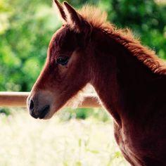 """""""現在荷川取牧場内だけで48頭にまで増えた宮古馬。傍目から見たら順調に繁殖しているように見えるこの事実にも黒い影が忍び寄っています。県の天然記念物にして増えたとは言え48頭しかいない宮古馬に対して行政は余りにも無関心で資金援助を渋る態度をとっているそうです。実際牧場の経営は火の車宮古馬を守る為に投資した資金を回収するどころか毎日の餌代にも困っている現状です。宮古馬はその昔農耕馬として移動の手段として宮古島民の生活を支えてきたと聞きますそんな宮古馬をそしてその宮古馬を支える人たちをどうにか助けたいと常々考えています。どうか皆さんも宮古馬の現状に目を向けて考えて欲しいです。実際牧場などで馬の姿を見てもらいたい。そして宮古馬を含む明るい宮古島の未来を一緒に考えて欲しいと思います。 #宮古馬 #horse #馬 #ウマ #うま  #宮古島"""" Photo taken by @pastelsayz on Instagram, pinned via the InstaPin iOS App! http://www.instapinapp.com (08/06/2015)"""