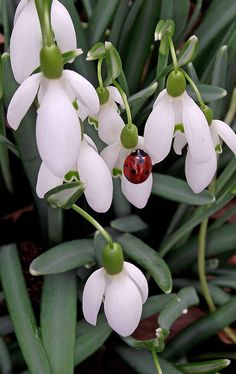 Ladybird and Snowdro Beautiful gorgeous pretty flowers Love Flowers, Spring Flowers, White Flowers, Beautiful Flowers, Beautiful Gorgeous, Deco Nature, Bugs And Insects, Belle Photo, Flower Power
