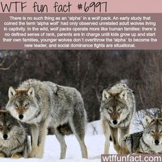 15 True WTF Facts About Wolves - World's largest collection of cat memes and other animals Animals And Pets, Funny Animals, Cute Animals, Of Wolf And Man, Alpha Wolf, Alpha Female Wolf, Female Male, Wolf Stuff, Wtf Fun Facts