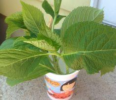 Grow hydrangea from cutting.