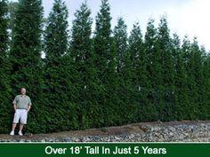 Green Giant Thuja hedge planting