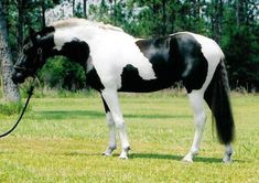Black and white pinto: A pinto's coat features any combination of white and another color. At a quick glance, this horse looks like he stole his coat from a cow! The contrast between the white and black is a mesmerizing l