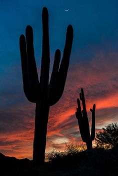 Saguaro Silhouettes, Sonoran Desert; photo by Guy Schmickle