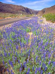 Big Bend National Park Wildflowers  #Texas #boomer #adventure