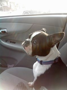 Bean - Boston Terrier