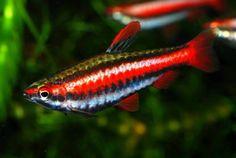 Nannostomus Rubrocaudatus, aka Purple Pencilfish