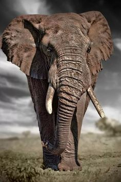 Big Bull Elephant Source by Nature Animals, Animals And Pets, Baby Animals, Cute Animals, Wild Animals, Bull Elephant, Elephant Love, Elephants Photos, Save The Elephants
