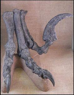 """Utahraptor Foot w/ Claws 16"""""""
