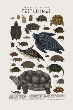 Animals Drawing Creatures of the order Testudines, Art print of an illustration by Kelsey Oseid. This poster chronicles 30 turtles, tortoises, and terrapins from the taxonomic order Testudines. Printed in Minneapolis on acid free 80 Animal Drawings, Art Drawings, Animal Illustrations, Illustrations Posters, Drawing Animals, Drawing Sketches, Animals And Pets, Cute Animals, Flora Und Fauna