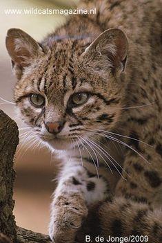 Geoffroy's Cat (Leopardus geoffroyi) - Wild Cats Magazine