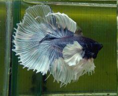 Big ears blue butterfly HM male