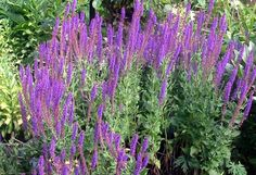 perennial salvia - grows like crazy without my having to do anything to it - my kind of plant!