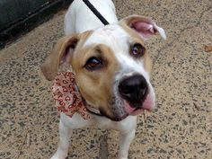 My name is LINDA. My Animal ID # is A0961443. I am a female white and tan pit bull mix. The shelter thinks I am about 2 YEARS  ☆★ TO ADOPT THIS ANIMAL THROUGH THE PUBLIC ADOPTION SITE, PLEASE GO TO THE FOLLOWING LINK AND SCROLL DOWN TO BOTTOM TO LOG IN AND RESERVE THE ANIMAL. THERE WILL BE A $50 DEPOSIT REQUIRED. http://www.nycacc.org/PublicAtRisk.htm ☆★