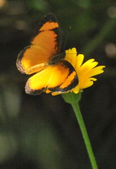 Themone Pais Butterfly