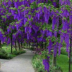 Wisteria! I just love it!!! Beautiful Nature Pictures, Amazing Nature, Beautiful Landscapes, Beautiful Gardens, Flowers Nature, Purple Flowers, Beautiful Flowers, Wisteria Tree, Unique Trees