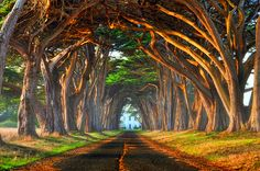 Tree Tunnel, Pt. Reyes, California                          Beautiful lighting!