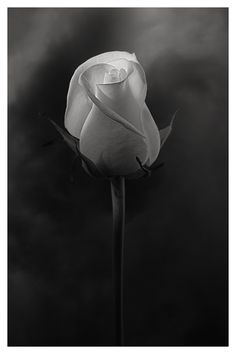 Rose Black and White photography Black And White Flowers, Black N White, Black And White Pictures, White Roses, Dark Flowers, Rose Photography, Black And White Photography, Foto 3d, Monochrom