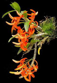 Dendrobium Unicum or The Unique Dendrobium. It is found in Vietnam, Laos, Myanmar and Thailand at elevations of 800 to 1550 meters.