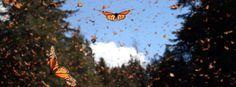 Ende Oktober kommt es in Mexiko zu einem einzigartigen Naturschauspiel: die Ankunft der Monarchfalter. Jetzt haben Forscher das Erbgut der Schmetterlinge entziffert und die Geschichte einer fast erdumspannenden Wanderung rekonstruiert.