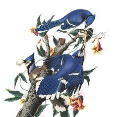 Explore John James Audubon's vibrant Birds of America prints and then enjoy your favorites via free high-resolution download. (Link in bio) #birds #birding #audubon #birdart #art #watercolor