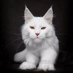 The Majestic Beauty of the Maine Coon - Cat Breeds - Cats Pretty Cats, Beautiful Cats, Cute Cats, Funny Cats, Siberian Cats For Sale, F2 Savannah Cat, Gatos Cats, Norwegian Forest Cat, Outdoor Cats