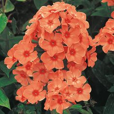 Think big this summer with Tall Phlox flowers. After spring's spectacular bounty, keep your garden lively with these giants, which reach 2 to 3 feet tall. Orange Flowers, Flower Garden, Planting Flowers, Garden Pests, Plants, Cottage Garden, Beautiful Flowers, Perennials, Phlox Plant
