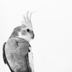 So this one's for you, my lovely, musical and oh-so grumpy Kenickie-bird. I hope you're flying wild out there in the WA skies with a whole gang of Galahs and flirting with all the Rainbow Lorikeets. Cockatiel, I Hope You, Flirting, Rainbow, Birds, Sky, Blog, Heaven, Rainbows