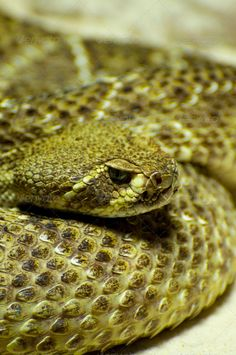 rattlesnake ...  Scaly, abstract, adorable, animal, artificial, background, brown, closeup, contrast, crocodile, dark, detail, exotic, face, fashion, fauna, glamour, handbag, leather, luxury, macro, material, nature, pattern, pet, piece, predator, pretty, purse, python, quality, rattlesnake, reptile, reptilian, rough, scale, serpent, skin, slither, snake, snakeskin, style, suitcase, textile, texture, textured, trendy, tropical, viper, wildlife