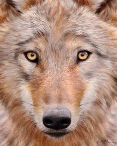 gorgeous timber wolf. captivating image. #wild #wolf #eyes