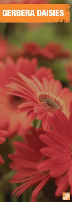 There's no such thing as too many Gerbera Daisies. You can't go wrong with flooding your garden with these cheerful flowers. Get inspired at homedepot.ca. #BackyardProud