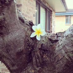Frangipani flower on a sweltering summer day. #summer #sydney #australia #aussiesummer #frangipani #flower #tropicalflower #summerheat #vignettefilter #daysofsummer