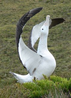 Tristan Albatross (Critically Endangered, About 9,000 To 15,000 Birds)