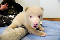 """Albino brown bear cub born at the Polar Zoo in Norway, The """"white"""" one is a girl; she weights about three kilograms, very active and f… spider monkey albino? HAS A BLACK TAIL albino kookaburra Animals Of The World, Animals And Pets, Funny Animals, Beautiful Creatures, Animals Beautiful, Rare Albino Animals, Bear Cubs, Bears, Melanism"""