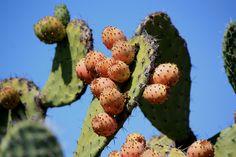 Prickly pears in Valencia,Spain