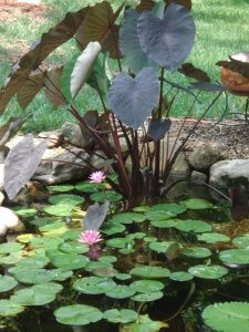 There are basically two types of Koi ponds. The strict, traditional Koi pond construction includes sophisticated and expensive filtration equipment which may include a biological and sand filter as… Water Garden Plants, Pond Plants, Water Gardens, Aquatic Plants, Small Gardens, Backyard Water Feature, Ponds Backyard, Garden Ponds, Backyard Waterfalls