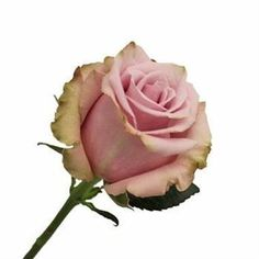 Being 40cm tall means that these roses will definately be small-headed. Acapella Roses are pink & usually available all year round. 40cm stem lengths this wholesale cut flower is wholesaled in 60 stem wraps.