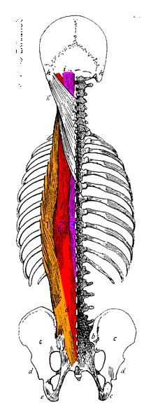 Erector Spinae muscles and what they do for you in belly dance.