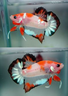 "sans-vertigo: ""theblondeaquarist: ""fishysarefriendsnotfoods: ""This boy is pretty but is he worth $100-$150? And if so, can somebody tell me why? "" No, he is not. His overall body conformation is good;..."